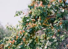 Liguria Apricots