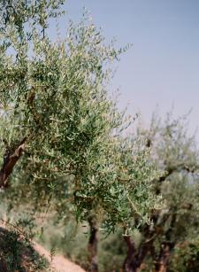 Liguria Olive Grove