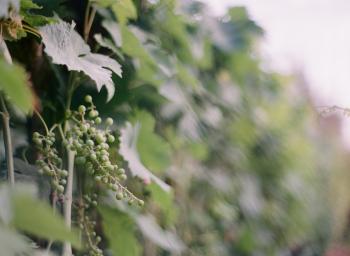 Ligurian Grapes