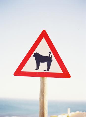 Baboon Crossing