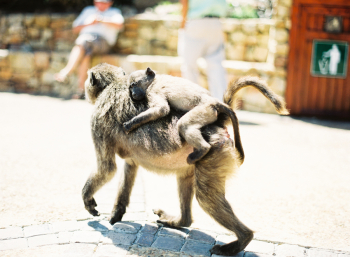 Baboons in Cape Town