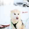 Dogsledding Pup