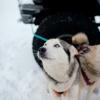 Husky Dogsledding