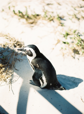 Penguin Colony at Cape Point