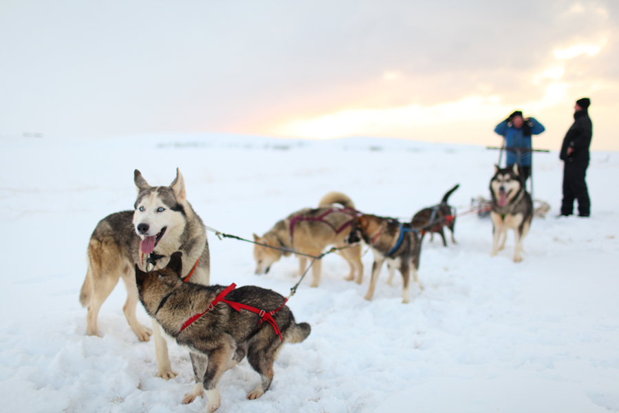 Everything You Need To Know About Alaska Dog Sled Tours ...