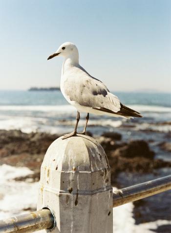 Seagull at Cape Town Beach