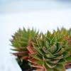Greece Cactus Plant