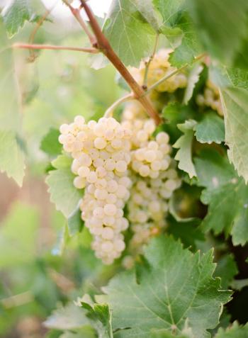 Vineyard in Lourmarin