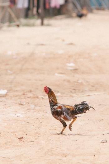Cambodia Chicken