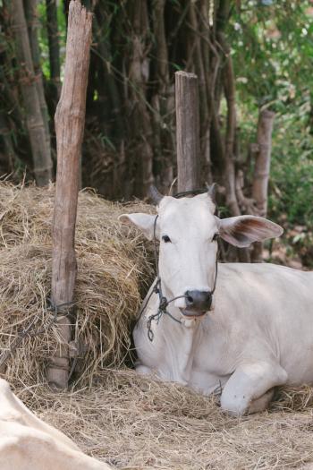Cambodia Cow