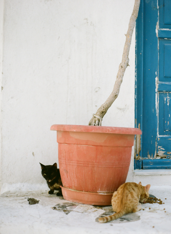 Cats in Mykonos