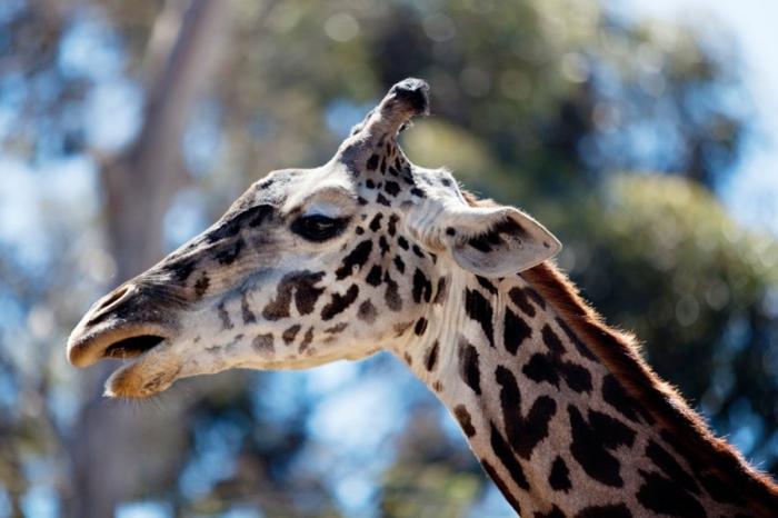 Giraffe San Diego Zoo
