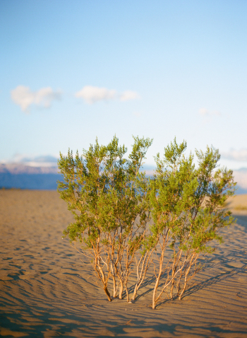 Green Plants in Death Valley