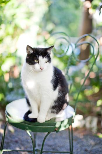 Hemingway House Kitty in Key West