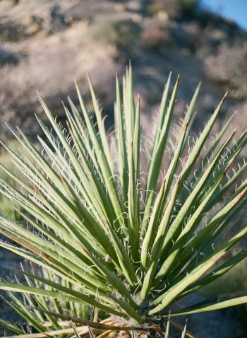 Joshua Tree Plantlife