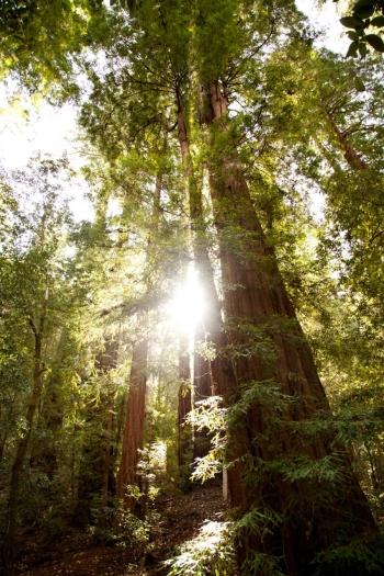 Redwoods Big Basin State Park