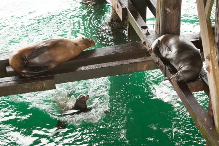 Sea Lions in Santa Cruz