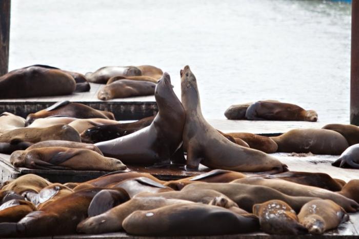 Seals Pier 39