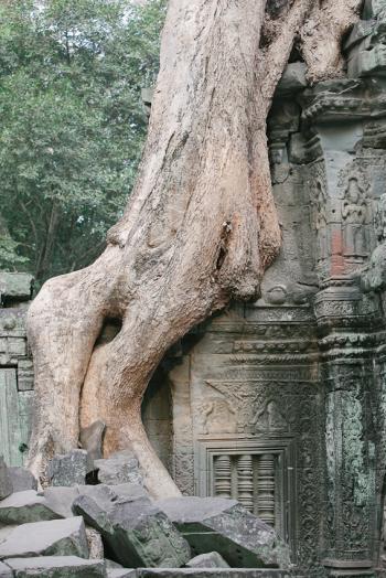 Tree at Ta Prohm Ruins