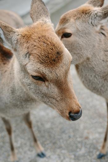 Baby Deer in Nara