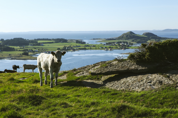 Cow in Stavanger Norway