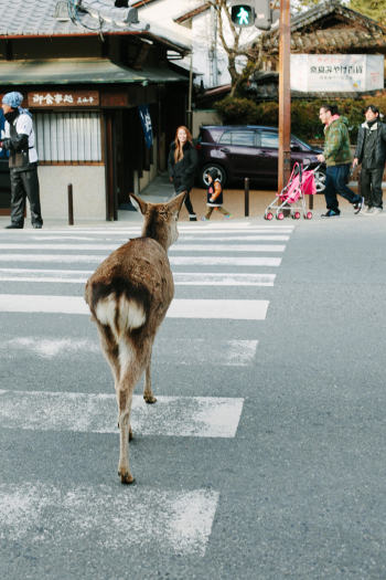 Fawn Crossing the Street in Nara Japan