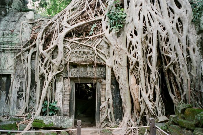 Tree Roots at Ta Prohm Cambodia