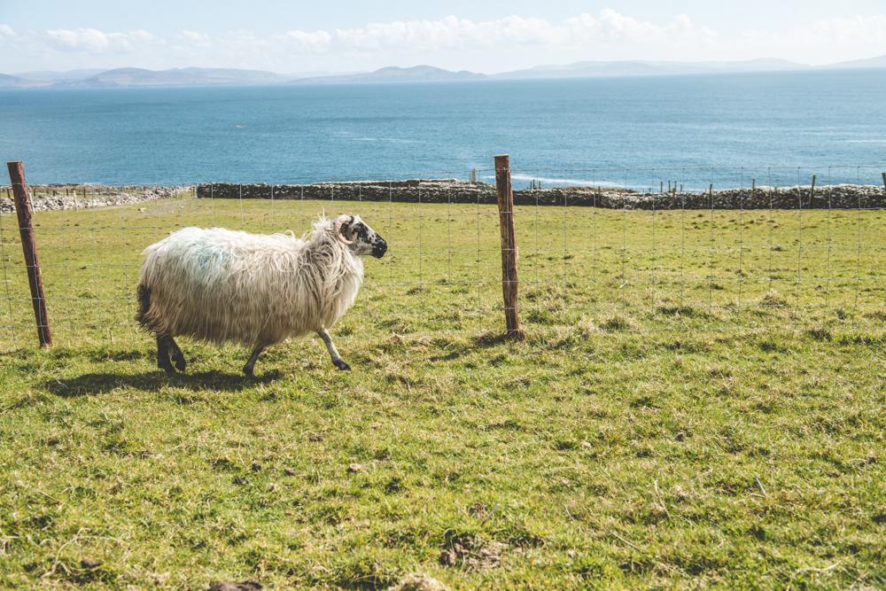 sheep in dingle peninsula entouriste