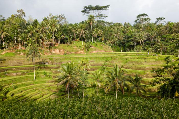 Tegallang Rice Terrace Bali