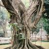 Tree in Hanoi