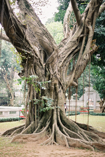 Tree in Hanoi