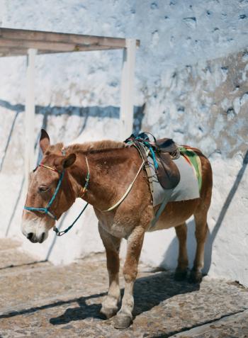 Mule in Santorini