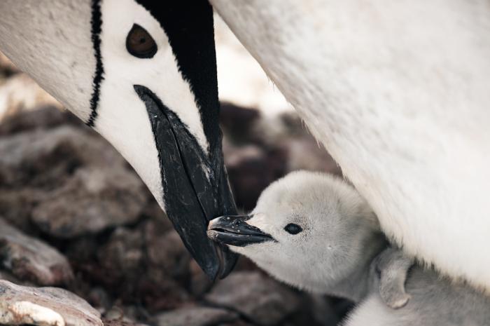 Baby Penguin in Antarctica