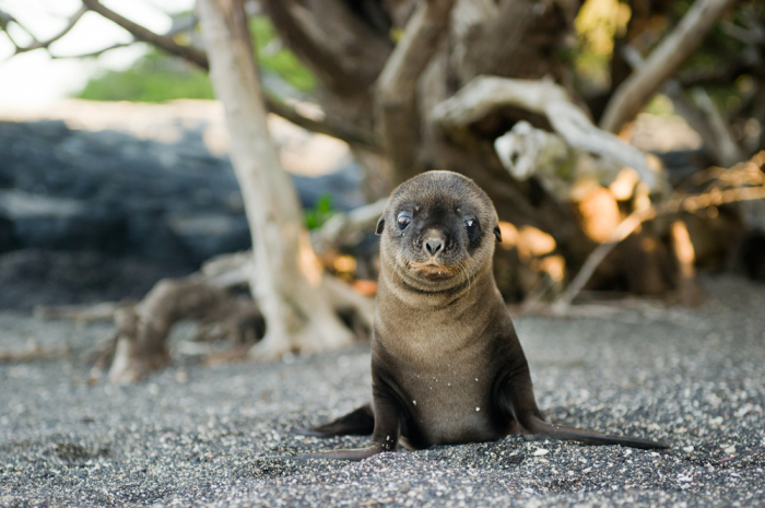 Baby Seal on the Beach in the Galapagos