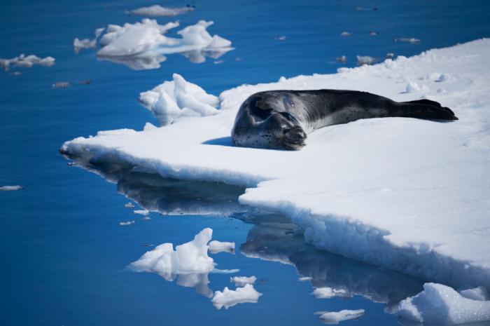 Beached Leopard Seal in Antarctica