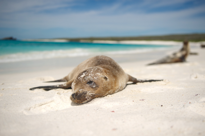 Beached Seal in the Galapagos