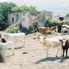 Cattle in Kefalonia Greece