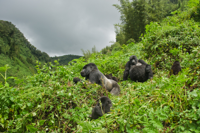 Gorillas in the Hills of Rwanda
