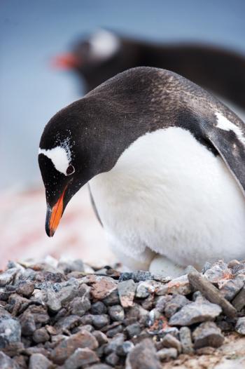 Lone Penguin in Antarctica