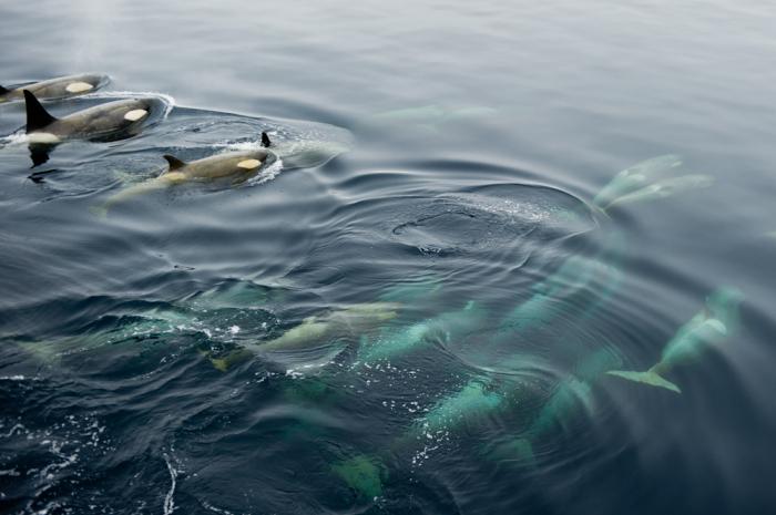 Orcas Swimming in Antarctica