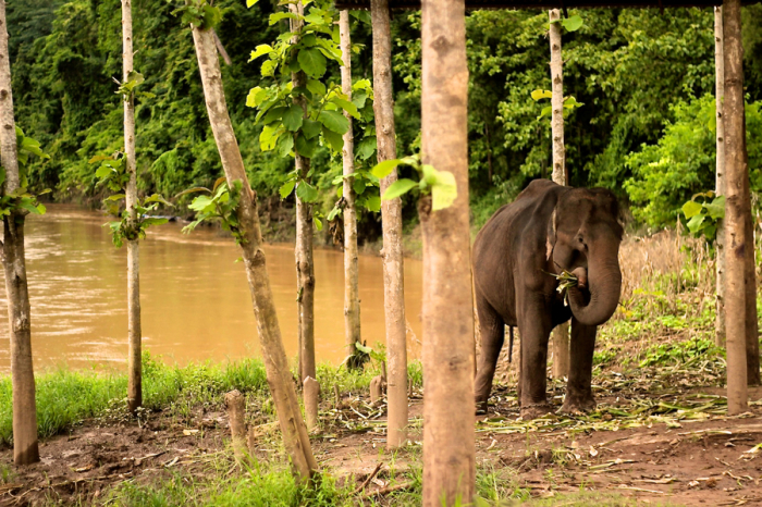 Elephant Eating in Laos