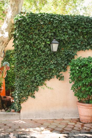 Ivy Wall in Tlaquepaque