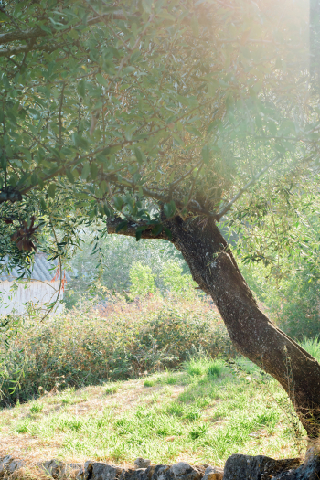 Olive Tree in Corfu Greece