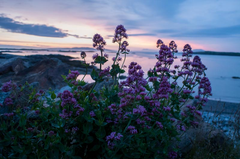 Purple Flowers And An Ocean Sunset In Connemara Ireland