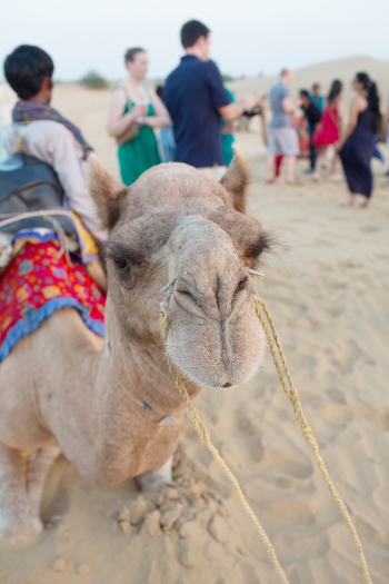 Camel at the Lalhmana Sand Dunes in India