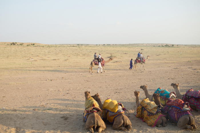 Camels in Waiting at Lalhmana Sand Dunes in India