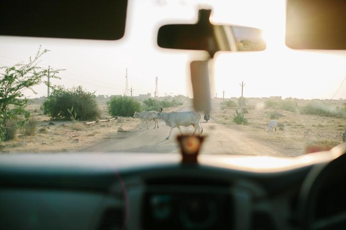 Cattle Crossing in Jaisalmer India