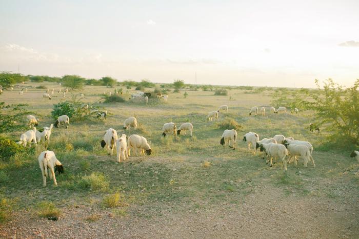 Grazing Goats in Jaisalmer India
