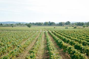 Vineyard in Ventenac en Minervois France
