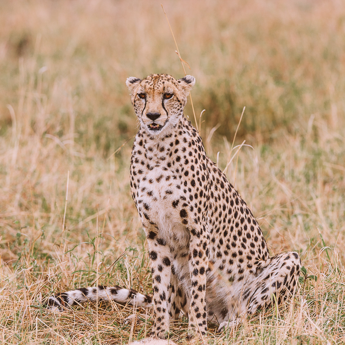 Cheetah at the Masai Mara Game Reserve in Kenya